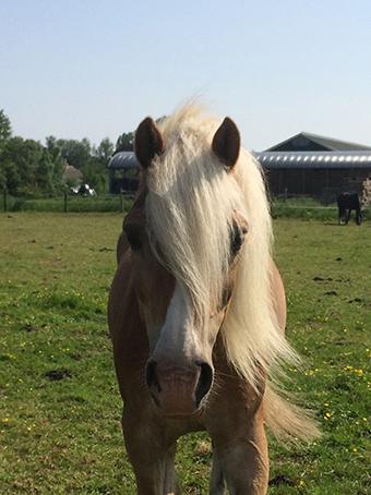 onze paarden & pony's – stal van brenk